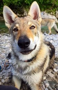 cane lupo grande