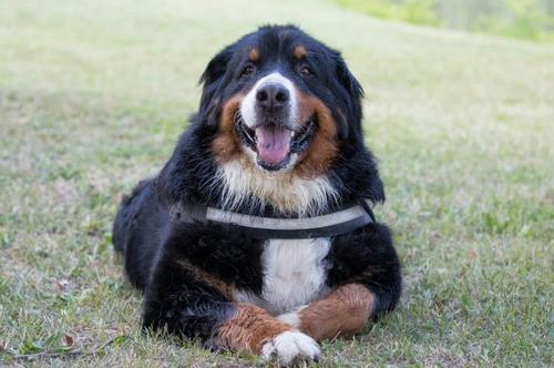 cane seduto con la lingua fuori
