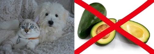 avocado cani