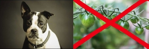 Pomodori verdi: tossici per cani e gatti