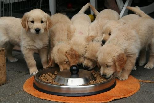 cuccioli che mangiano
