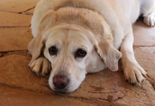Obesità nel cane e gatto: quali sono i rischi e come prevenirla