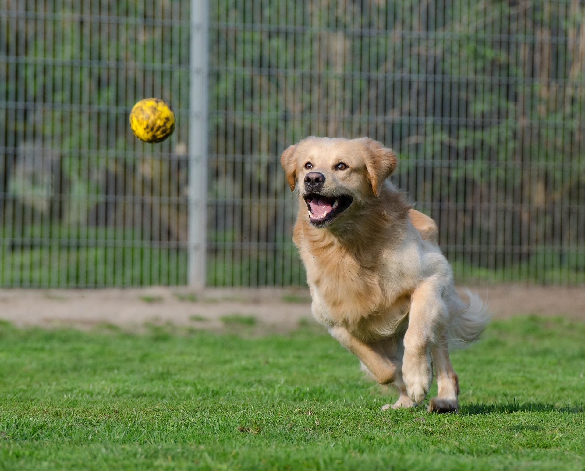 cane che corre per prendere palla